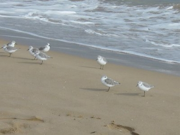 Winter Sands and hungry gulls