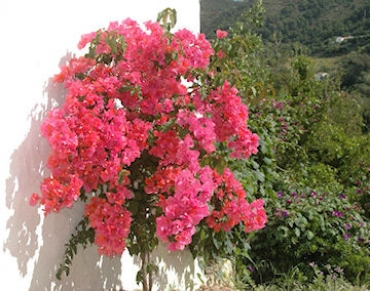 Bouganvilla - summer!